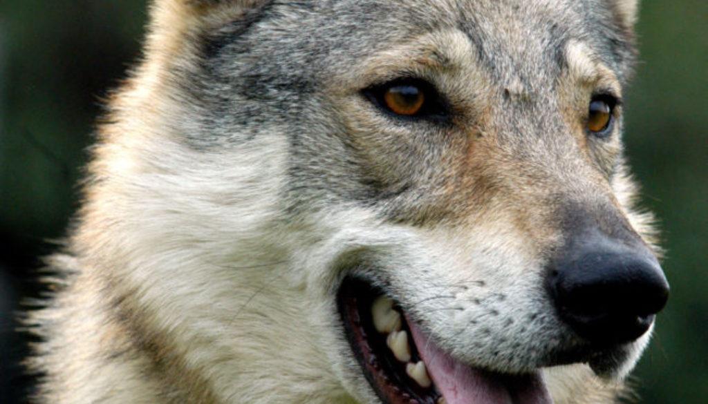 spok-cane-lupo-cecoslovacco-della-vittoria-alata