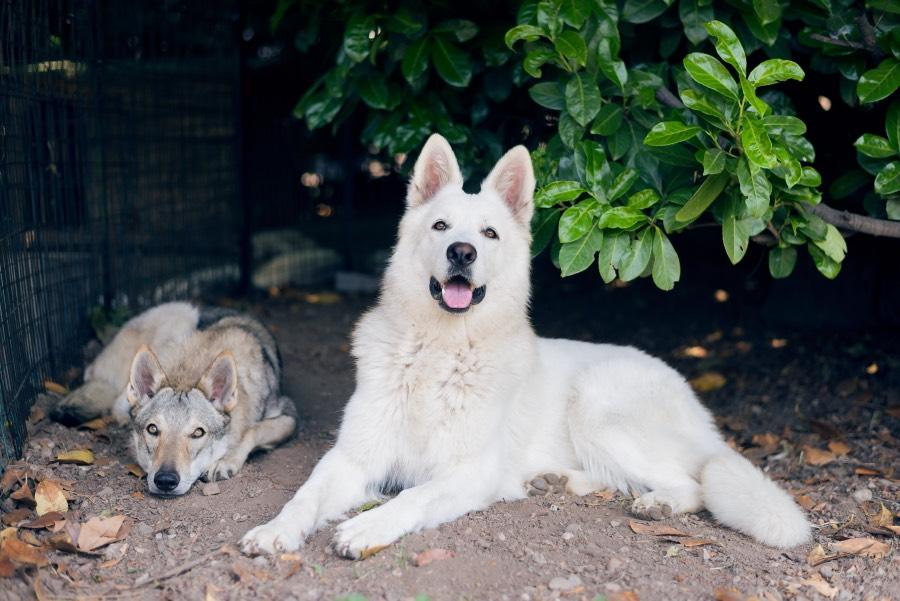 Mia e Lupita- Bluejewel Bonie e Sunny Lady od Bijelih Anđela
