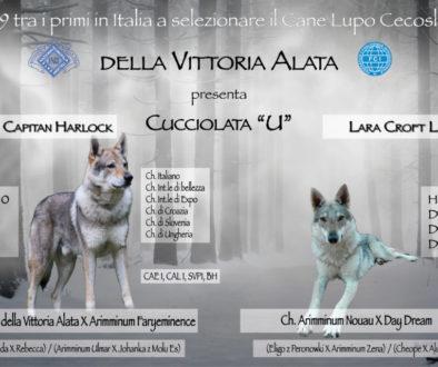 Cucciolata U della Vittoria Alata cane lupo cecoslovacco