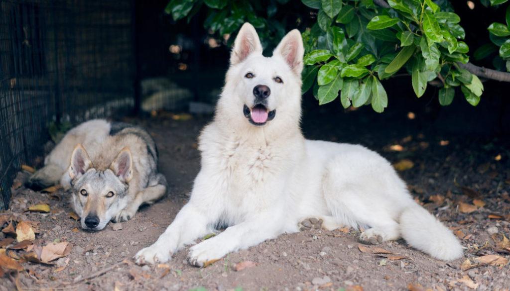 allevamento cane lupo cecoslovacco pastore svizzero bianco della vittoria alata brescia lombardia