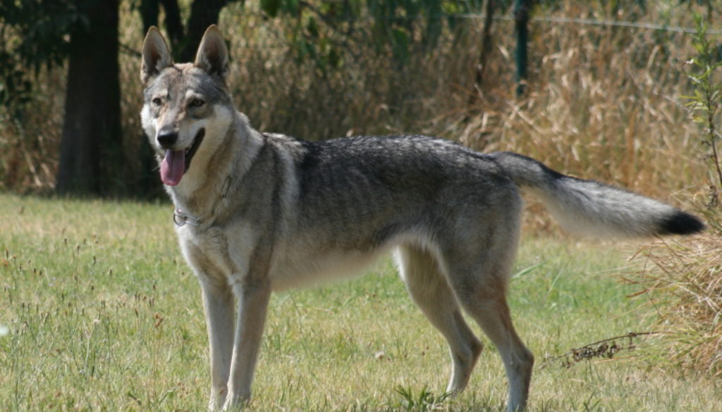 cane lupo cecoslovacco Aki della Vittoria Alata