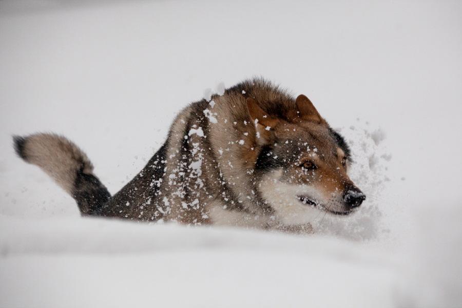 cane lupo cecoslovacco Anouk - Dredo