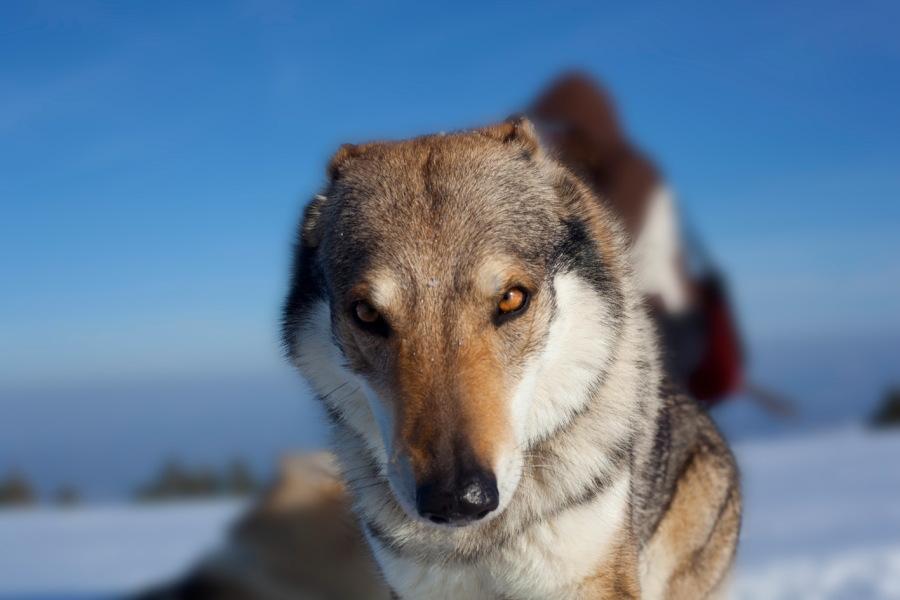 cane lupo cecoslovacco anouk dredo 020
