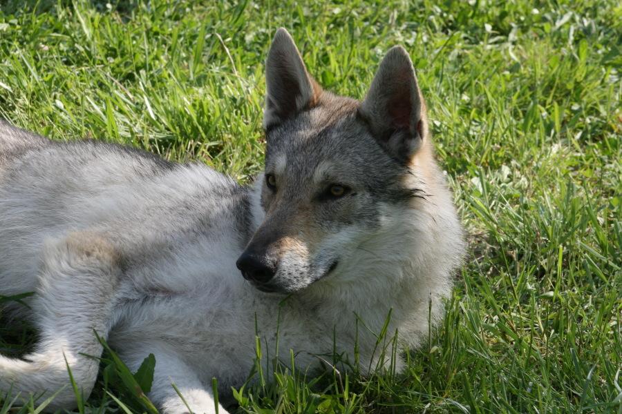 cane lupo cecoslovacco Balatron