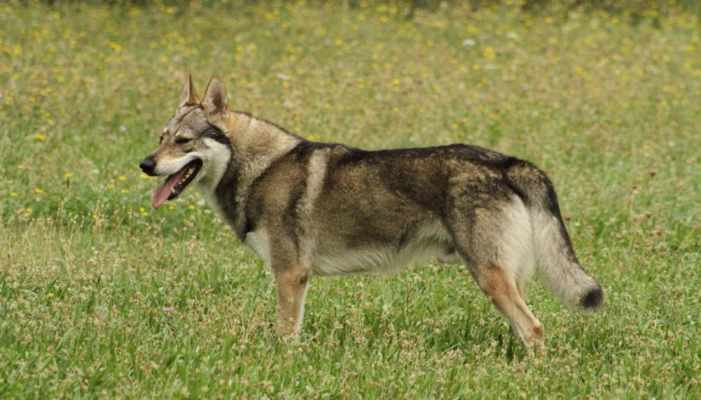 cane lupo cecoslovacco Denver della Vittoria Alata