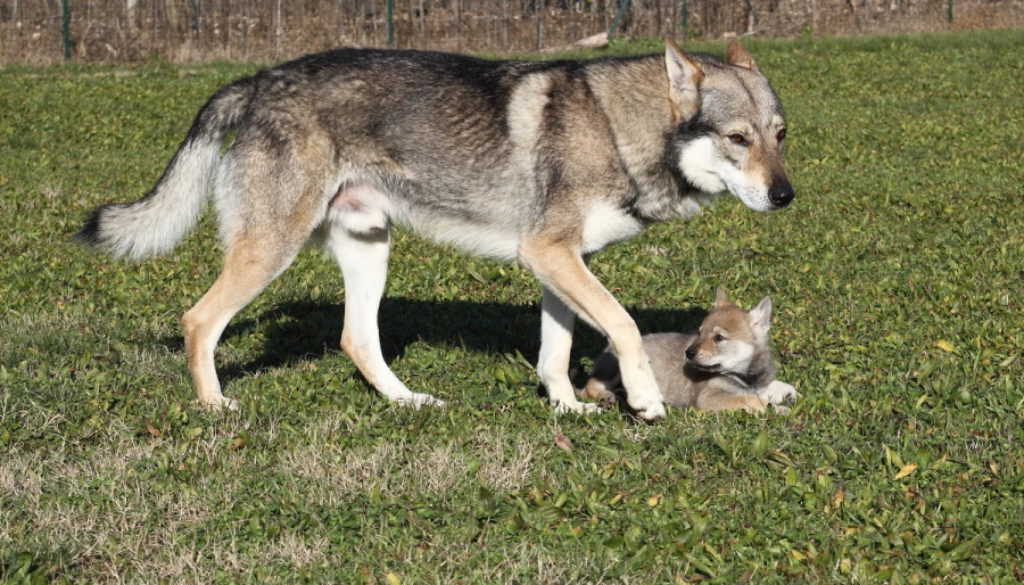 cane lupo cecoslovacco Denver della Vittoria Alata & Luna
