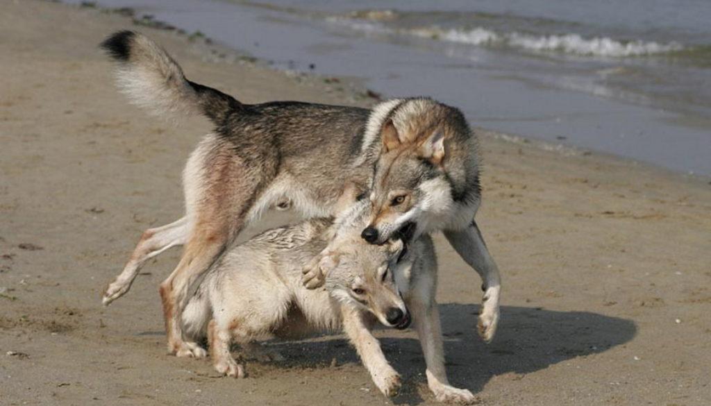 cane lupo cecoslovacco zaccaria d.V.A. 0005