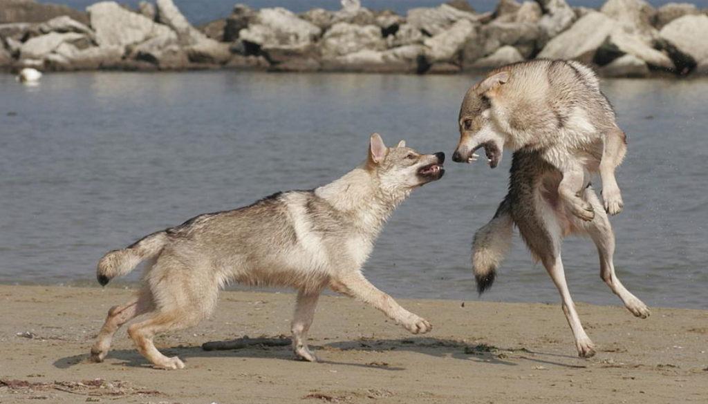cane lupo cecoslovacco zaccaria d.V.A. 0020