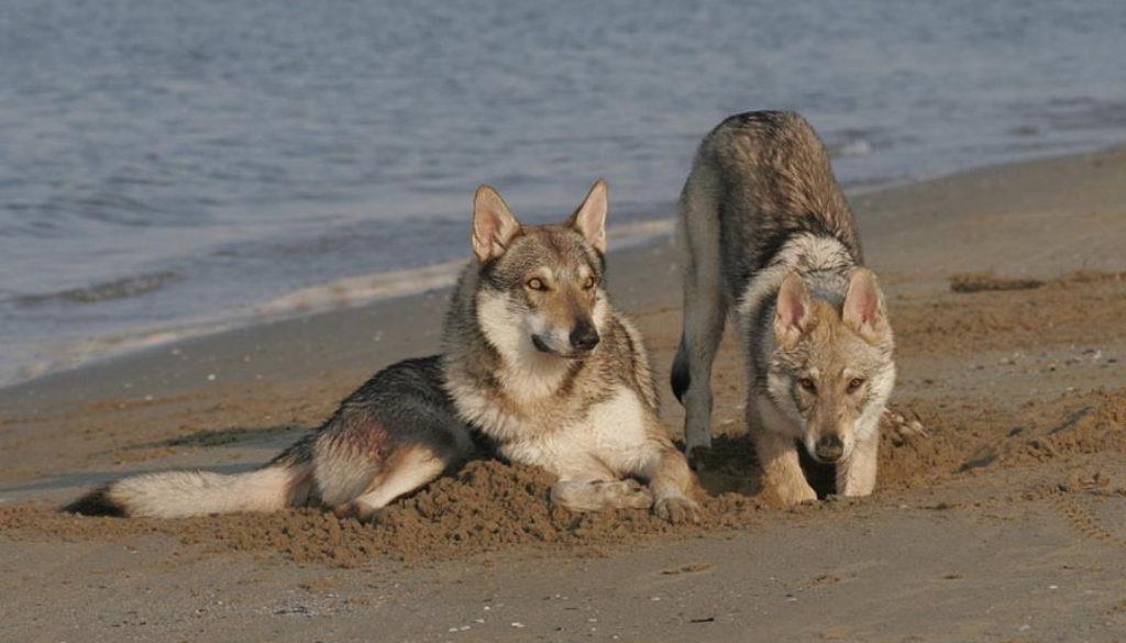 cane lupo cecoslovacco zaccaria d.V.A. 0040