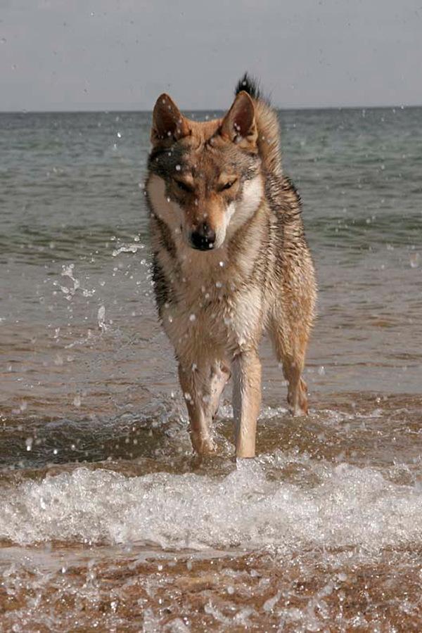 cane lupo cecoslovacco zaccaria d.V.A. 0055