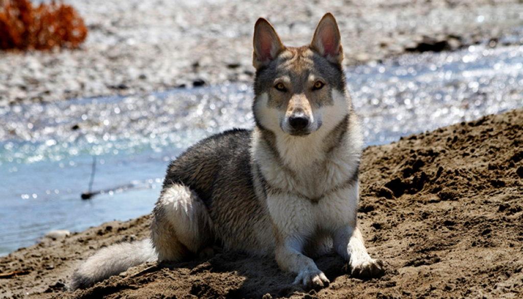 cane lupo cecoslovacco zaccaria d.V.A. 0150