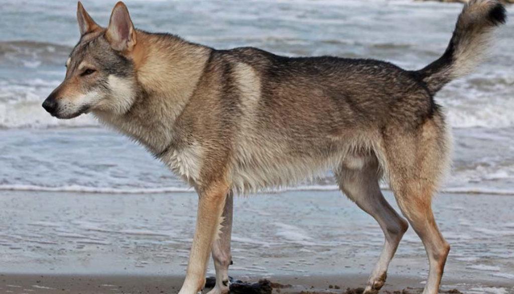 cane lupo cecoslovacco zaccaria d.V.A. 0160