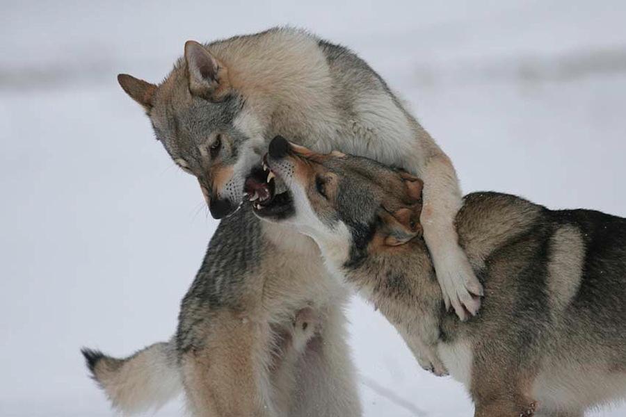 cane lupo cecoslovacco zaccaria d.V.A. 0205