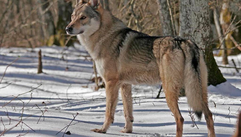 cane lupo cecoslovacco zaccaria d.V.A. 0230