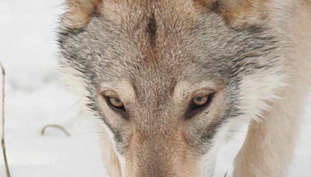 cane lupo cecoslovacco zaccaria d.V.A. 0285