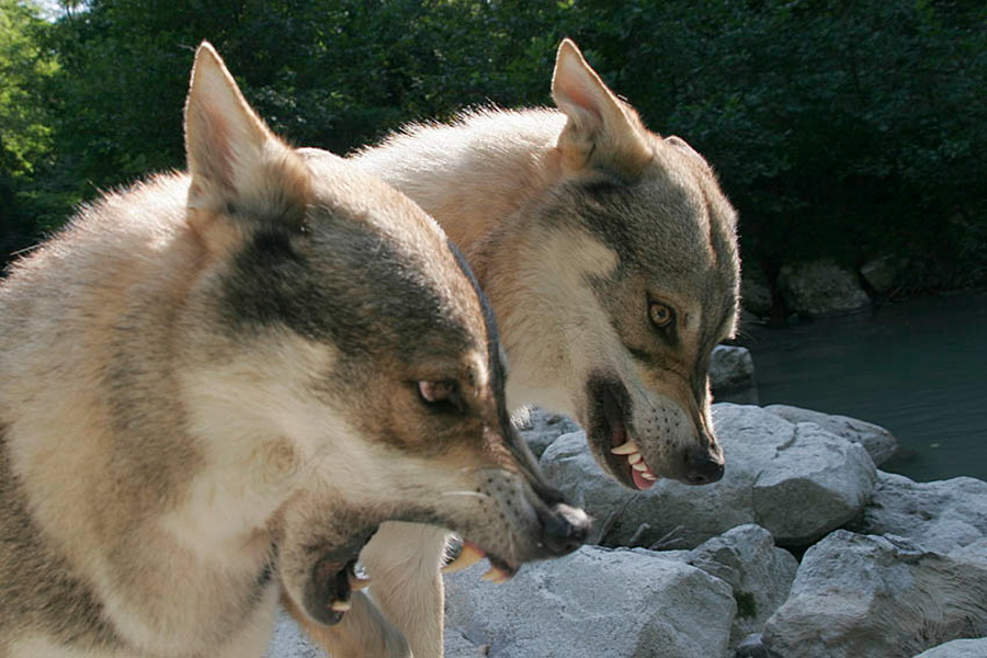 cane lupo cecoslovacco zaccaria d.V.A. 0320