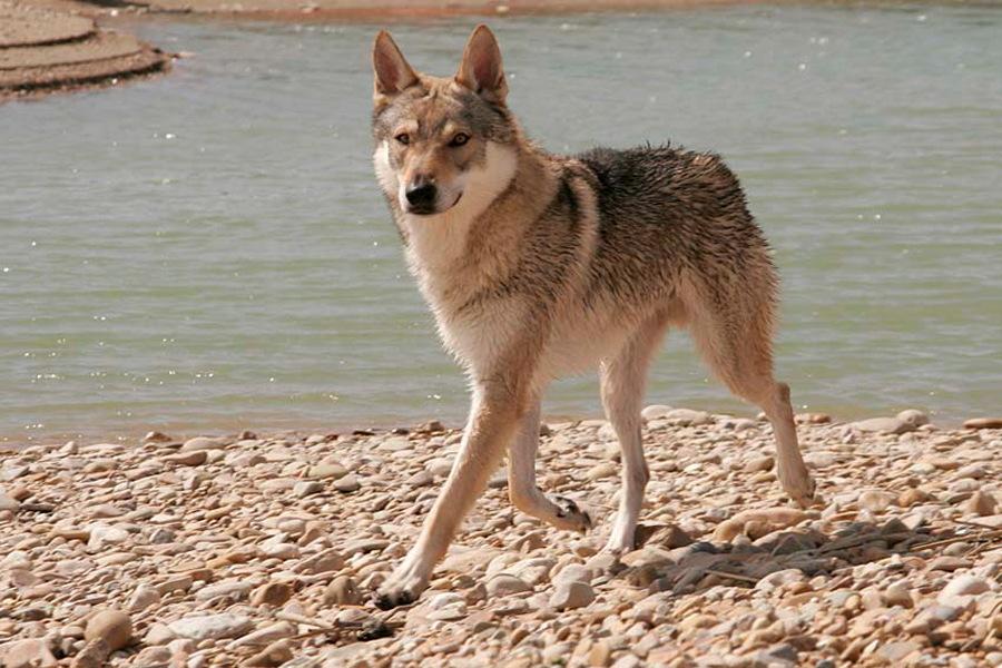 cane lupo cecoslovacco zaccaria d.V.A. 0325