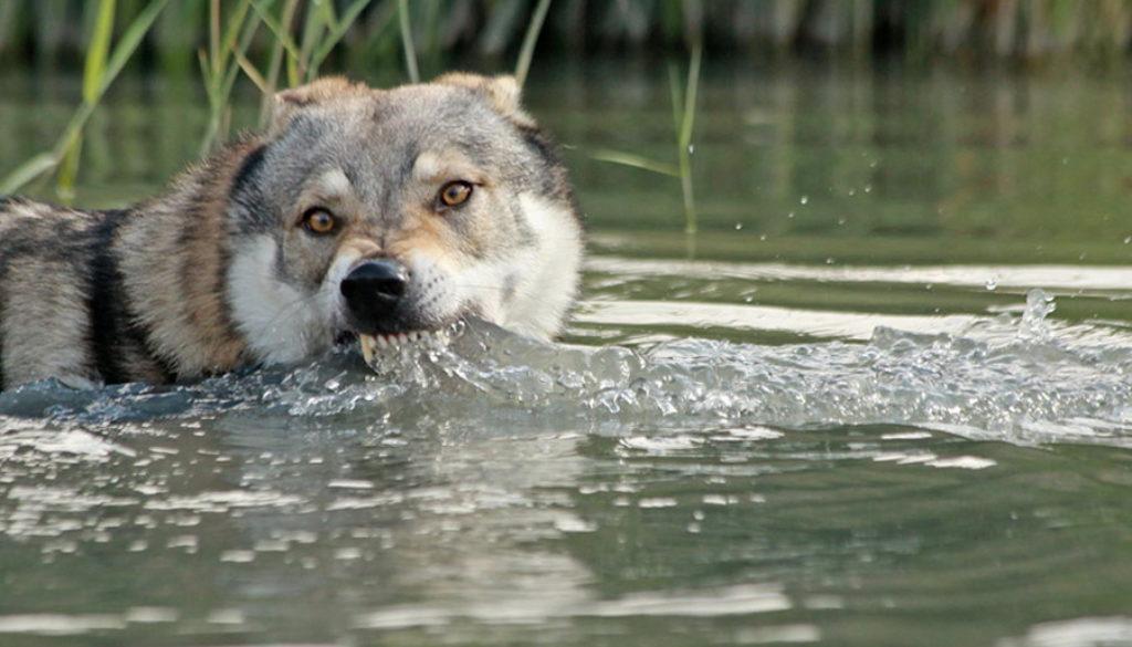 cane lupo cecoslovacco zaccaria d.V.A. 0380