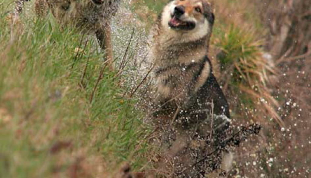 cane lupo cecoslovacco zaccaria d.V.A. 0390