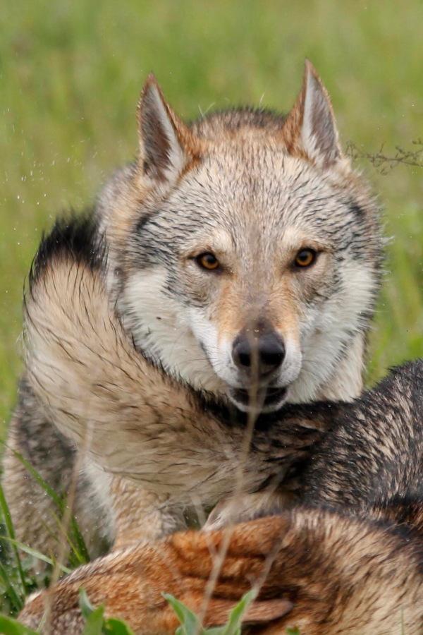 cane lupo cecoslovacco zaccaria d.V.A. 0410