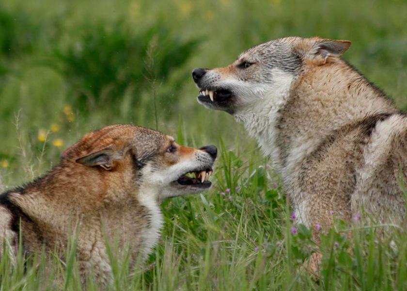 cane lupo cecoslovacco Anouk e Kun - Dredo e Zaccaria della Vittoria Alata