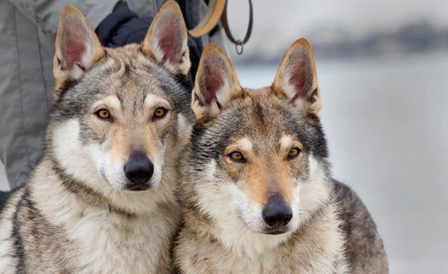 cane lupo cecoslovacco zaccaria d.V.A. 0435