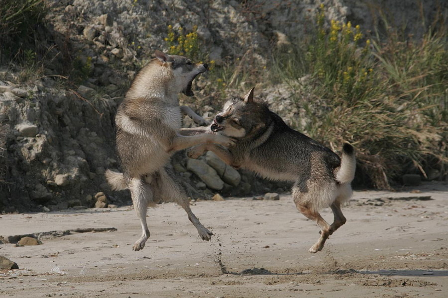 cane lupo cecoslovacco zaccaria d.V.A. 0450