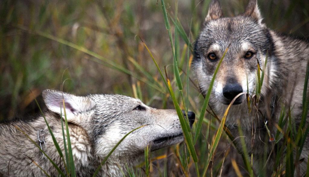cane lupo cecoslovacco zaccaria d.V.A. 0475