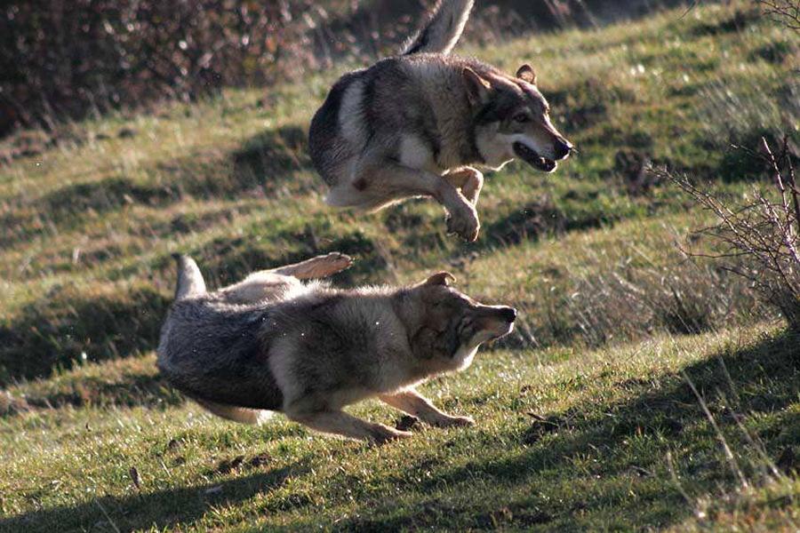 cane lupo cecoslovacco Kun e Anouk - Zaccaria della Vittoria Alata e Dredo