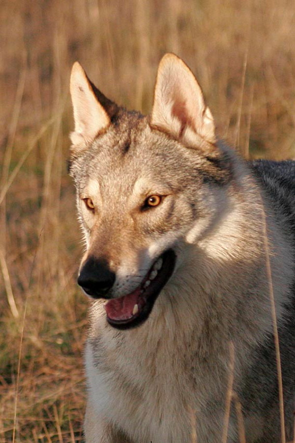 cane lupo cecoslovacco zaccaria d.V.A. 0620