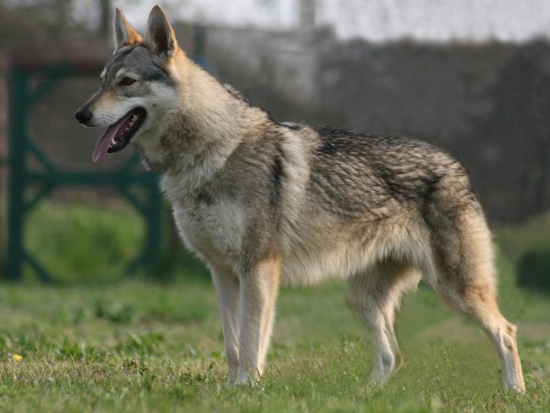 cane lupo cecoslovacco Zara della Vittoria Alata
