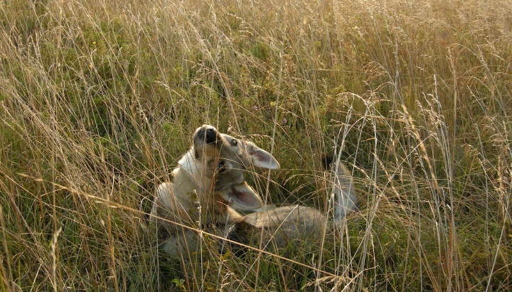 cane lupo cecoslovacco Zoe della Vittoria Alata