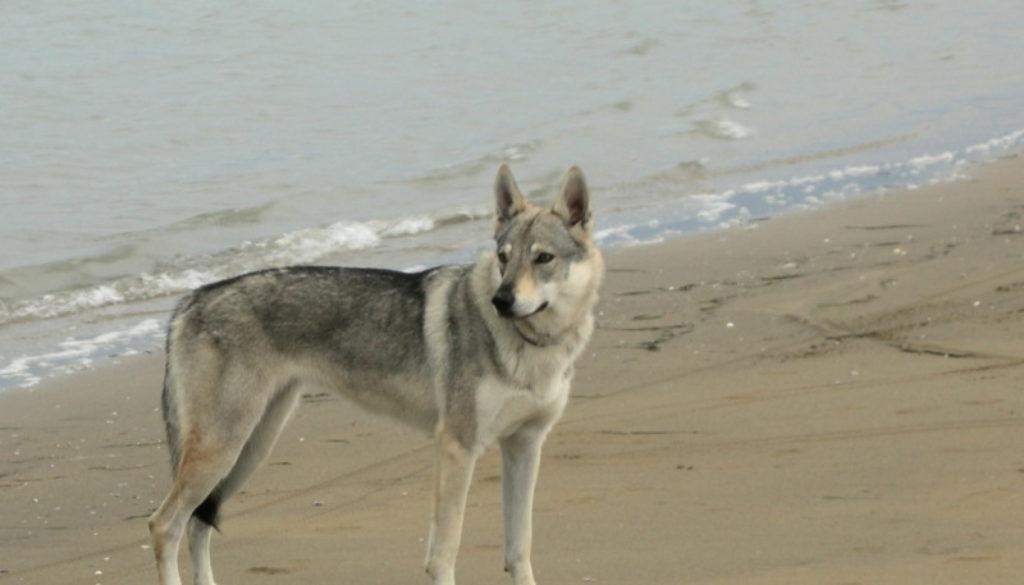 cane lupo cecoslovacco Yama - Zoe della Vittoria Alata