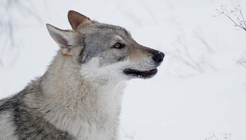 cane lupo cecoslovacco Kun - Zaccaria della vittoria alata