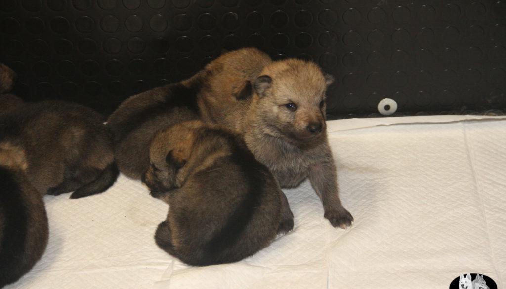 Cuccioli B cane lupo cecoslovacco della Vittoria Alata - Lara Croft Lupimax X Haron Lupi del Nord-10