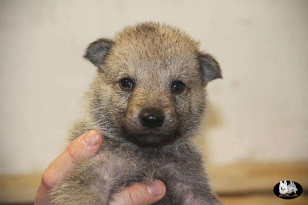 Cuccioli B cane lupo cecoslovacco della Vittoria Alata - Lara Croft Lupimax X Haron Lupi del Nord-12