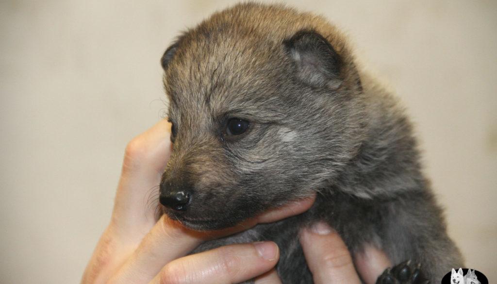 Cuccioli B cane lupo cecoslovacco della Vittoria Alata - Lara Croft Lupimax X Haron Lupi del Nord-13