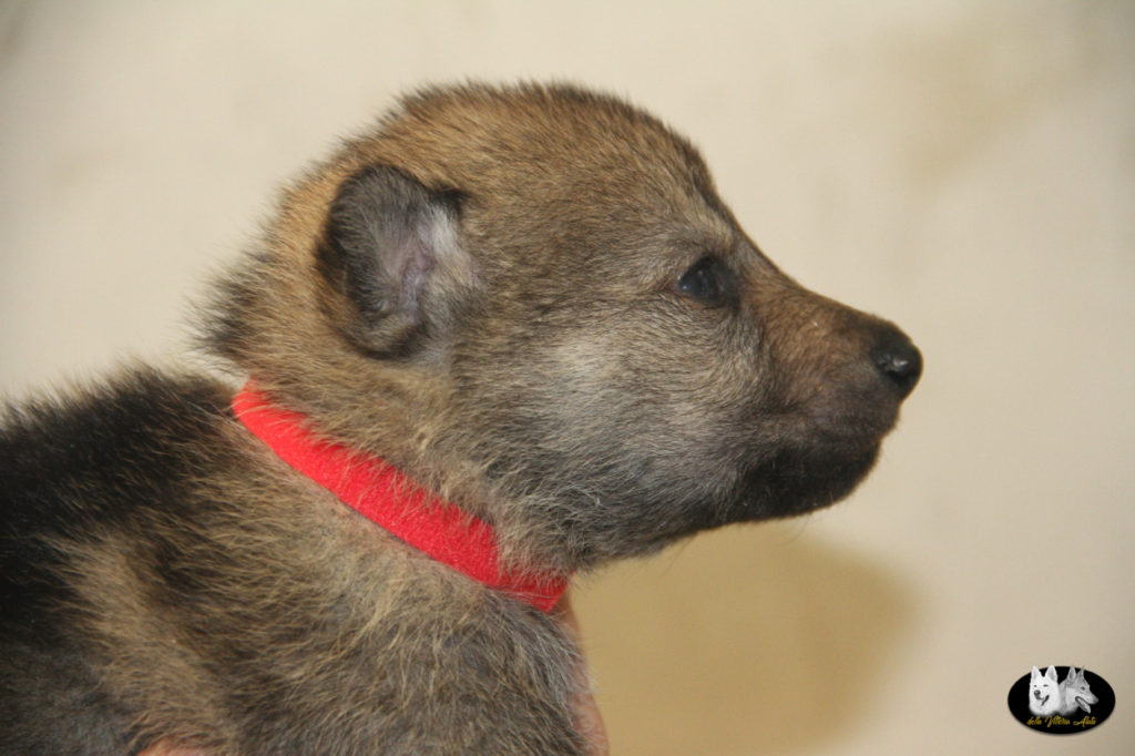 Cuccioli B cane lupo cecoslovacco della Vittoria Alata - Lara Croft Lupimax X Haron Lupi del Nord-14
