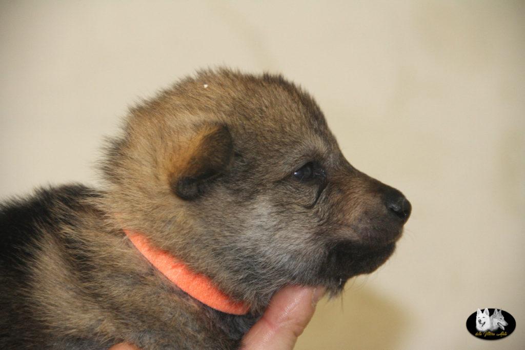 Cuccioli B cane lupo cecoslovacco della Vittoria Alata - Lara Croft Lupimax X Haron Lupi del Nord-15