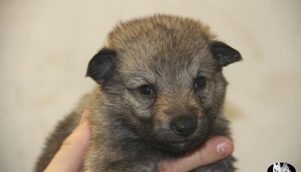 Cuccioli B cane lupo cecoslovacco della Vittoria Alata - Lara Croft Lupimax X Haron Lupi del Nord-16