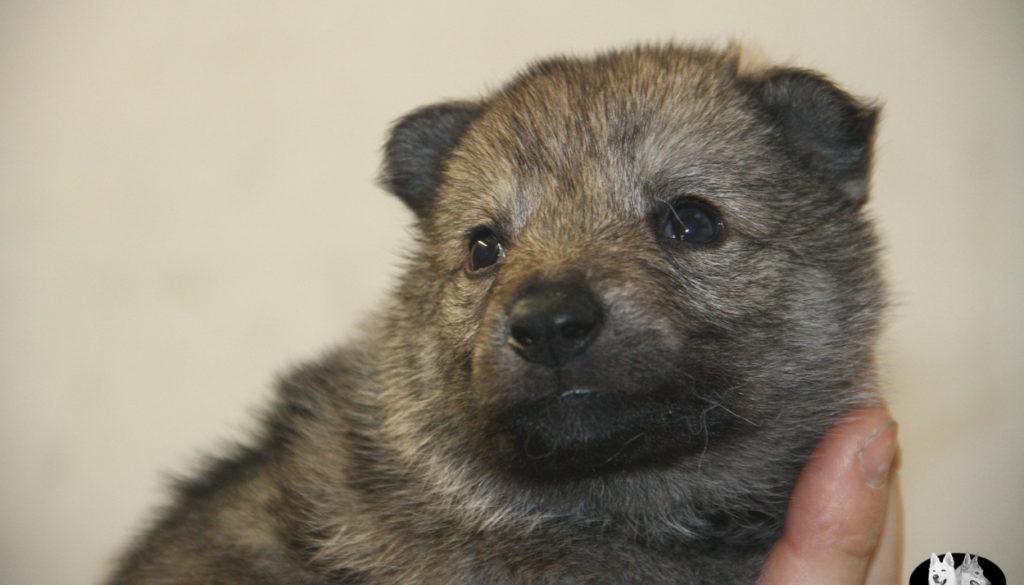 Cuccioli B cane lupo cecoslovacco della Vittoria Alata - Lara Croft Lupimax X Haron Lupi del Nord-17