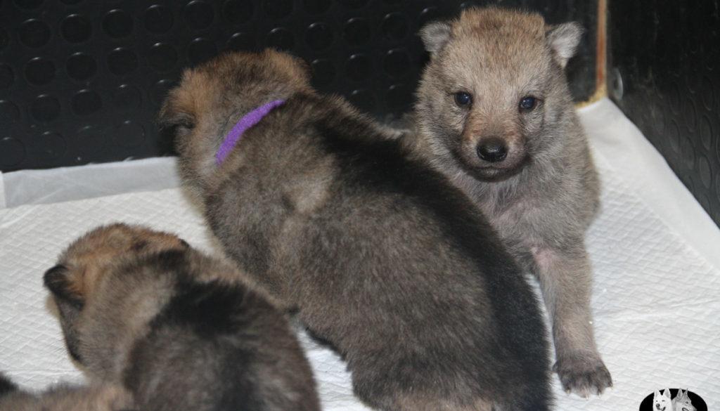 Cuccioli B cane lupo cecoslovacco della Vittoria Alata - Lara Croft Lupimax X Haron Lupi del Nord-19