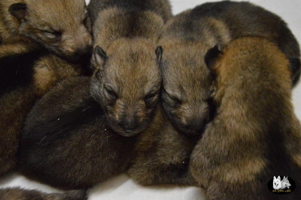 Cuccioli B cane lupo cecoslovacco della Vittoria Alata - Lara Croft Lupimax X Haron Lupi del Nord-2