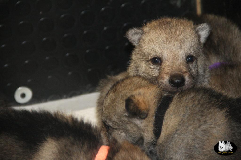 Cuccioli B cane lupo cecoslovacco della Vittoria Alata - Lara Croft Lupimax X Haron Lupi del Nord-20