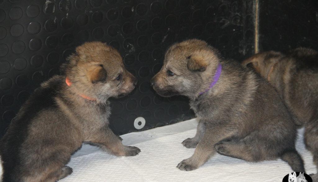 Cuccioli B cane lupo cecoslovacco della Vittoria Alata - Lara Croft Lupimax X Haron Lupi del Nord-21