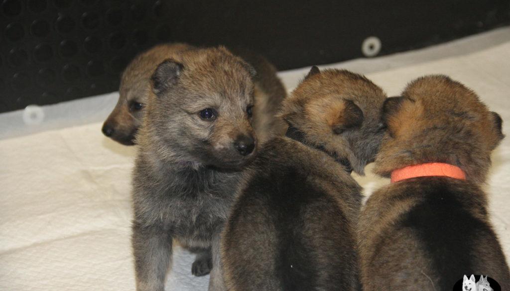 Cuccioli B cane lupo cecoslovacco della Vittoria Alata - Lara Croft Lupimax X Haron Lupi del Nord-22