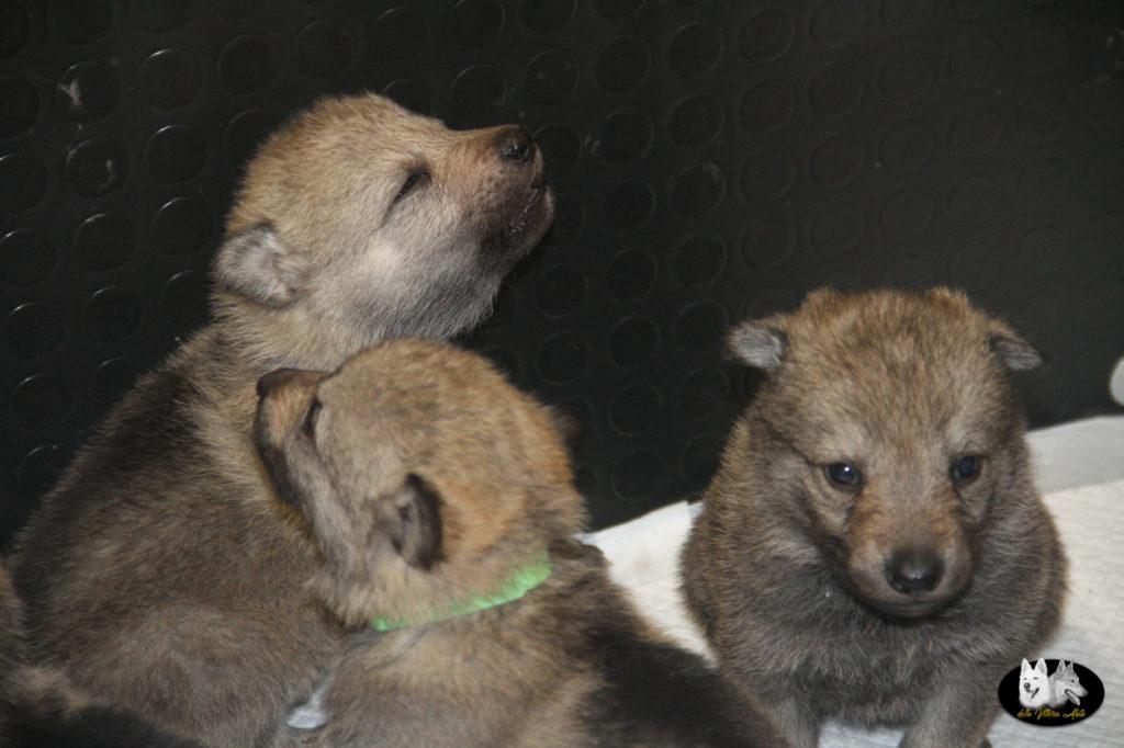 Cuccioli B cane lupo cecoslovacco della Vittoria Alata - Lara Croft Lupimax X Haron Lupi del Nord-23