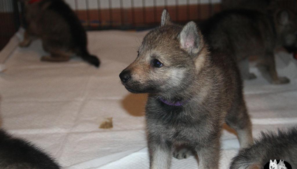 Cuccioli B cane lupo cecoslovacco della Vittoria Alata - Lara Croft Lupimax X Haron Lupi del Nord-24