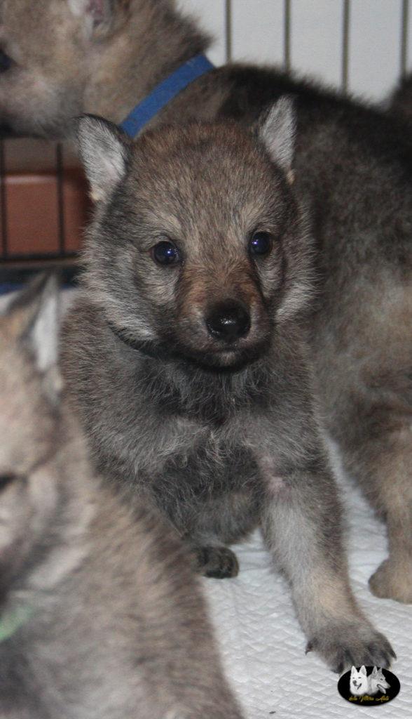 Cuccioli B cane lupo cecoslovacco della Vittoria Alata - Lara Croft Lupimax X Haron Lupi del Nord-25
