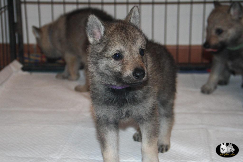 Cuccioli B cane lupo cecoslovacco della Vittoria Alata - Lara Croft Lupimax X Haron Lupi del Nord-26